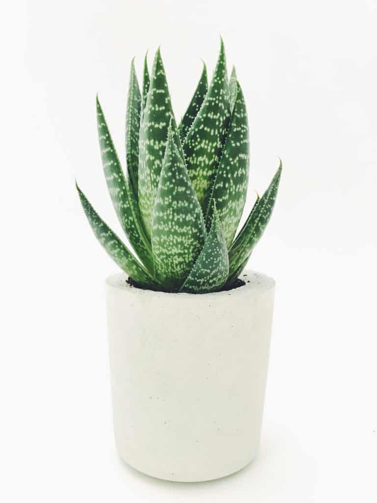aloe plant in a cement plant pot against a white background