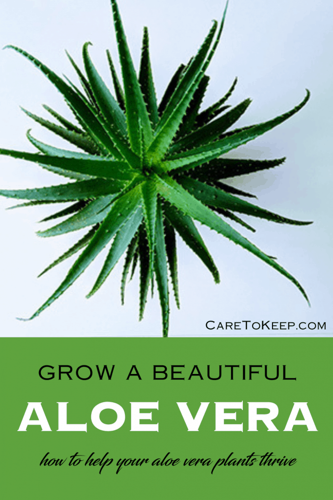 """a square photo of a star-shaped aloe vera plant on a light blue/gray background; black text on the bottom right of the photo reads: """"CareToKeep.com""""; under the photo is black and white text on a green background that reads: """"Grow a beautiful Aloe Vera; how to help your aloe vera plants thrive"""