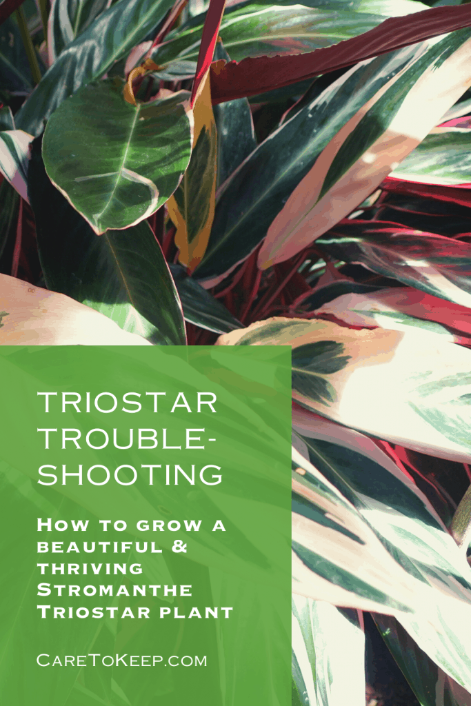 """Close-up photo of a Stromanthe Triostar plant with A slightly transparent green rectangle in the bottom left corner. White text within the rectangle reads: """"Triostar trouble-shooting; How to grow a beautiful & thriving Stromanthe Triostar plant; CareToKeep.com"""
