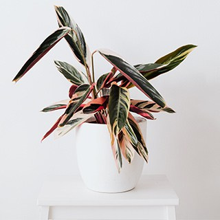 Stromanthe Triostar plant in a white pot on a small white table against a white wall
