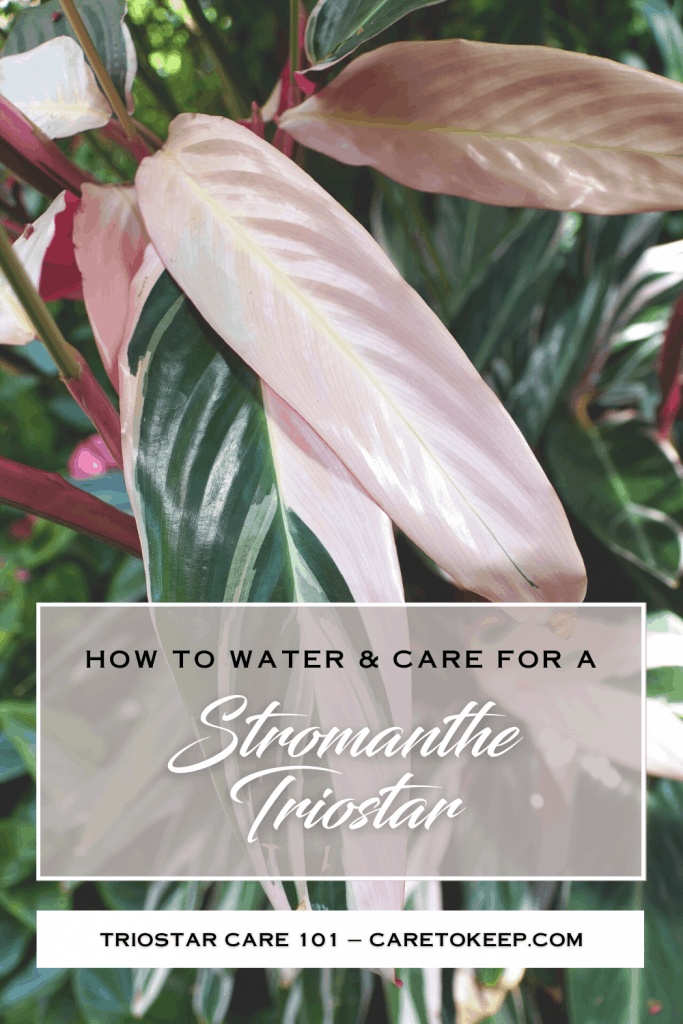 """closeup of pink and green stromanthe triostar leaves. At the bottom of the image, A white-bordered rectangle contains black and white text that reads: """"How to water & care for a Stromanthe Triostar"""". Below that is a narrow white rectangle with black text that reads: """"Triostar care 101 — CareToKeep.com"""