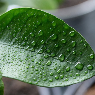 water droplets on a ficus leaf