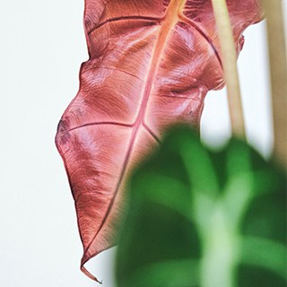 closeup of green and pink alocasia leaves