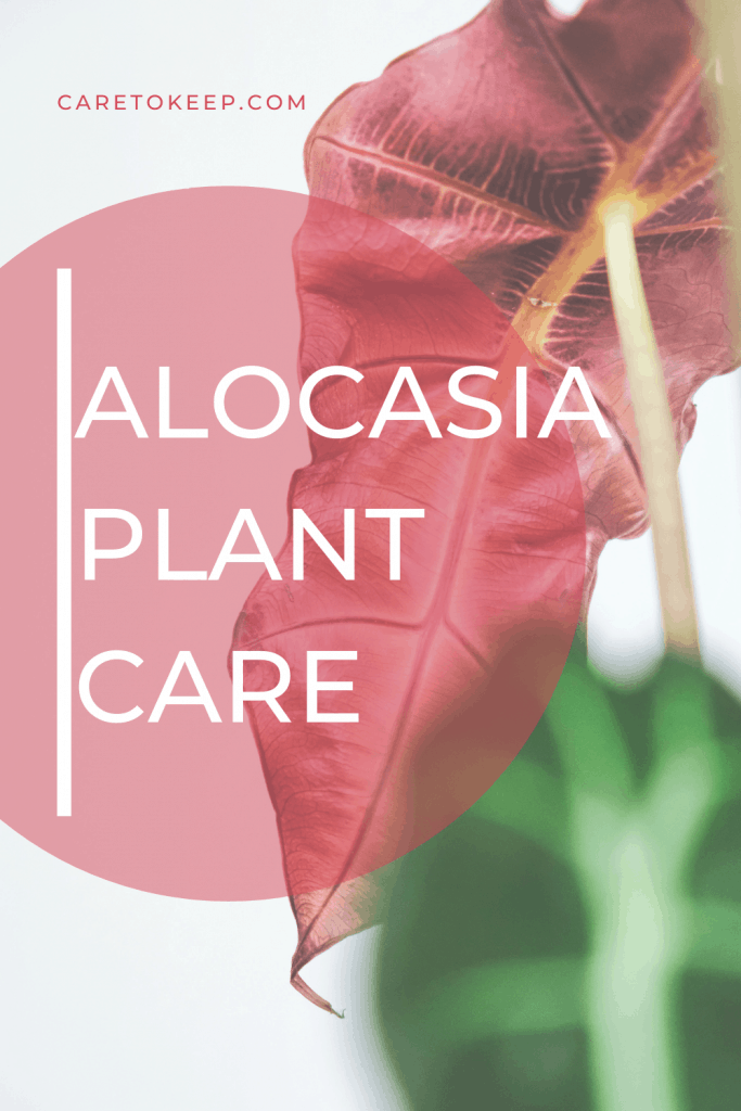 """pink and green alocasia plant leaves with a dark pink writing that reads """"CareToKeep.com"""" and light pink writing on a dark pink, semi-transparent circle that reads """"Alocasia plant care"""""""