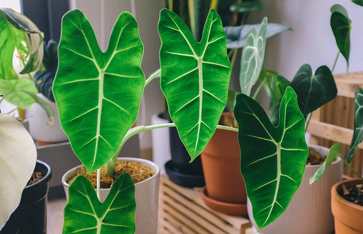thriving potted alocasia houseplants