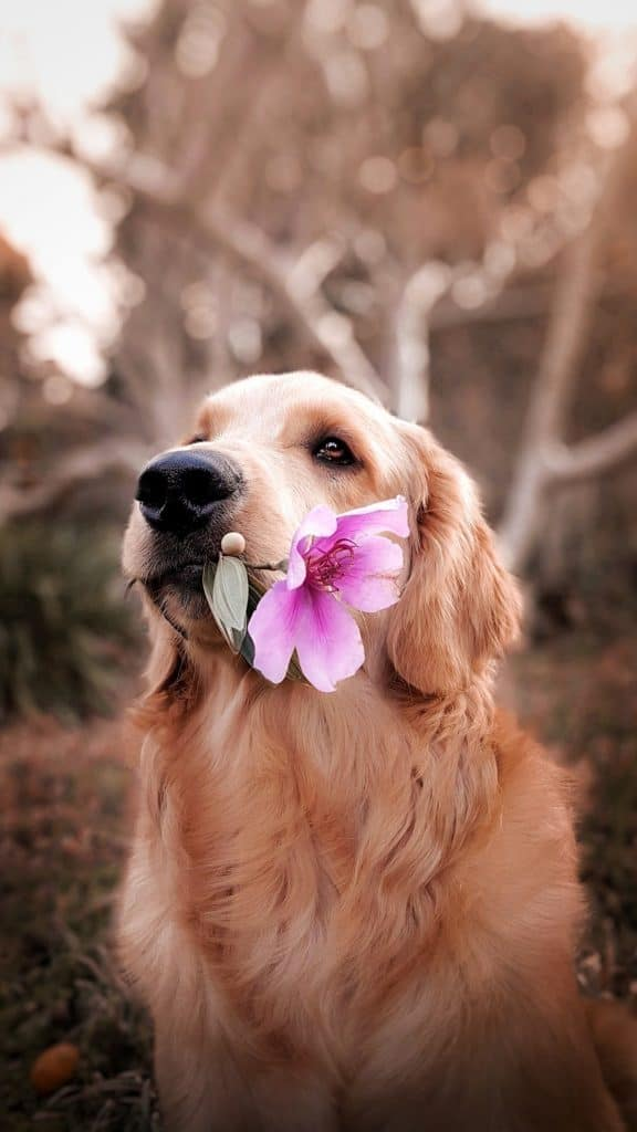 a golden retriever dog holding a pink flower in their mouth