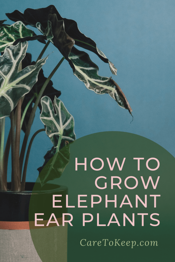 """potted alocasia plant against a blue background with light pink writing in a dark green circle on the bottom right of the image that reads: """"How to grow elephant ear plants; CareToKeep.com"""