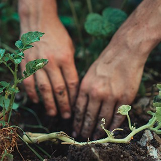 hands digging in garden soil surrounded by green plants