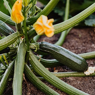 zucchini flowers blooming on a growing zucchini plant